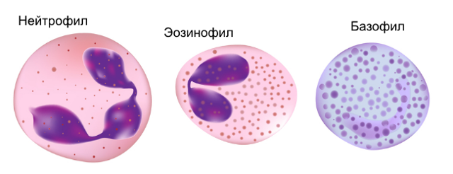 Повышены лейкоциты в крови у ребенка : причины лейкоцитоза у новорожденных и деток от 1 года