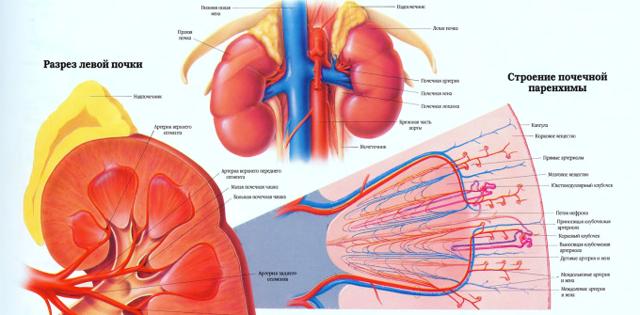Двухсторонняя пиелоэктазия у плода при беременности: что это такое и почему бывает?