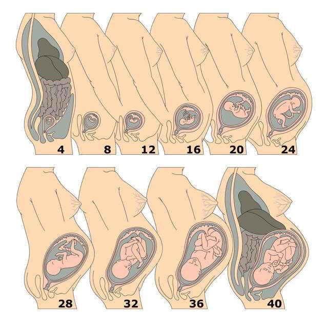 УЗИ после родов: когда нужно делать, какие размеры матки должны быть в норме?