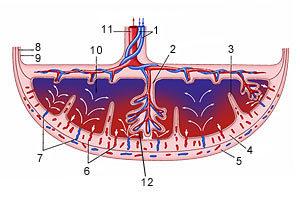 Пуповина имеет 3 сосуда: что это значит, сколько должно быть артерий при беременности?