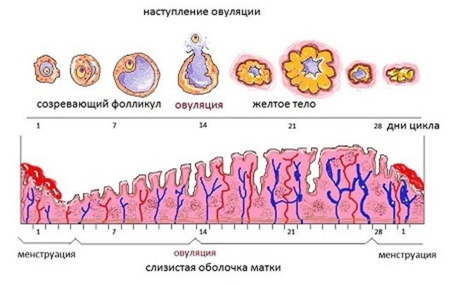 Размер эндометрия матки: норма по дням цикла, возможные отклонения в толщине, таблица