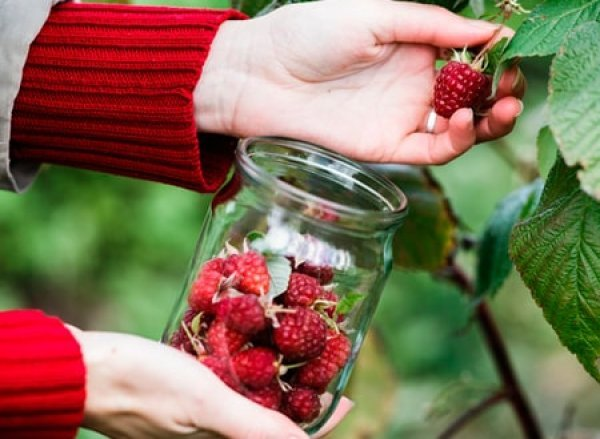Малина при беременности: можно ли употреблять ягоды и варенье во время 1–3 триместров?