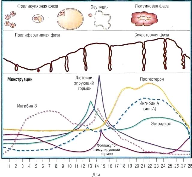 Шейка матки перед месячными: какая она на ощупь, за сколько дней до менструации опускается?